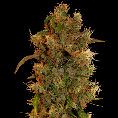 8 Ball Kush (Feminized Seeds)