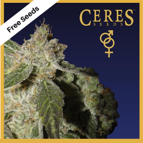 White Panther (Regular Seeds) - Free Seeds - Ceres Seeds