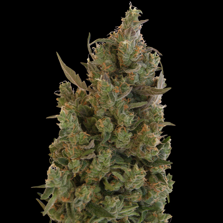 Blue Cheese (Feminized Seeds)