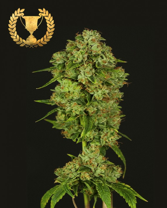 Casey Jones (Feminized Seeds)