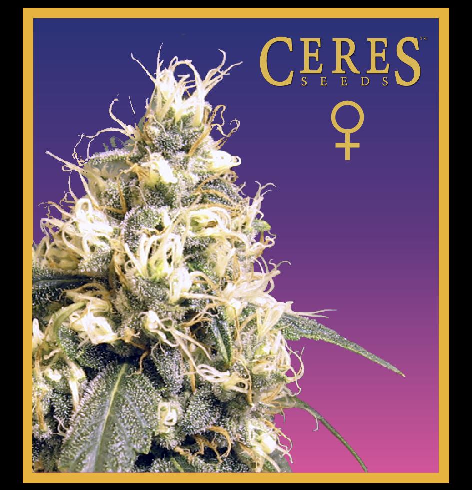 Ceres Kush (Feminized Seeds)