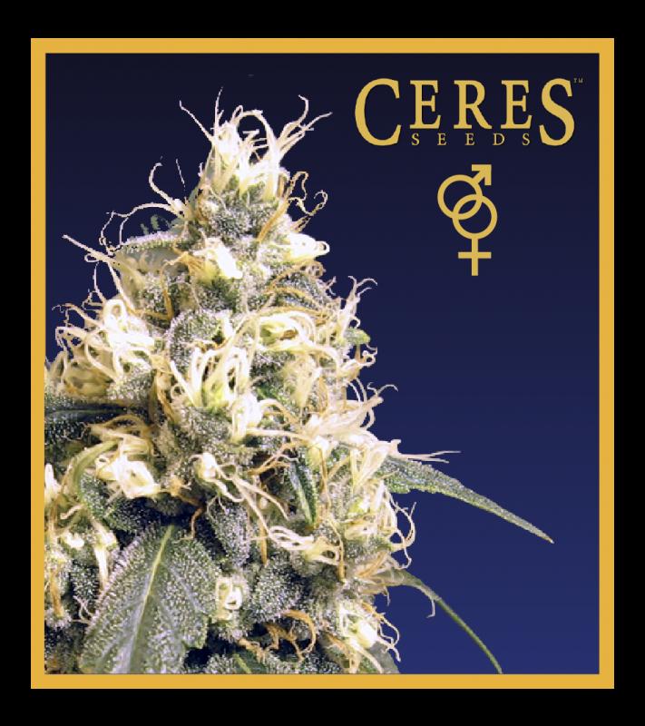 Ceres Kush (Regular Seeds)