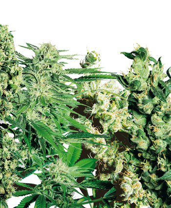 SeSensi Seeds (Feminized Mix)nsi Seeds Feminized Mix