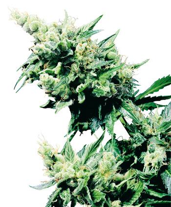 Hash Plant (Regular Seeds)