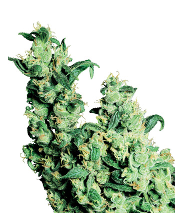 Jack Herer (Regular Seeds)