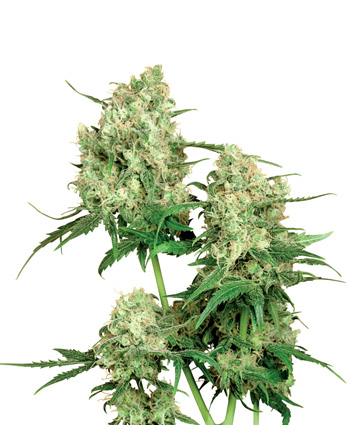 Maple Leaf Indica (Regular Seeds)