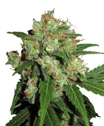 Sensi Skunk (Feminized Seeds)