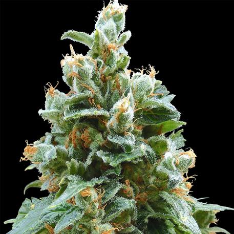 Vanilla Kush (Feminized Seeds)