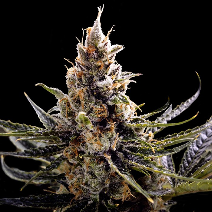 Cheesus (Feminized Seeds)