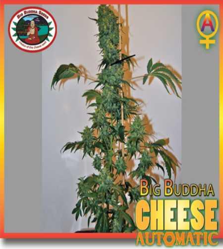Big Buddha Cheese (Autoflowering Seeds)