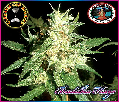 Buddha Haze (Feminized Seeds)