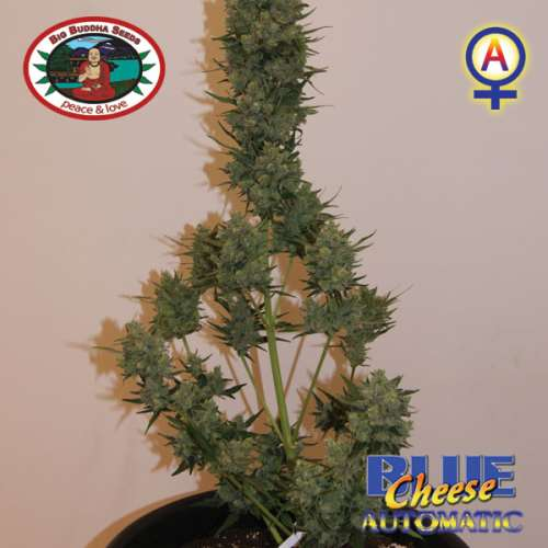 Blue Cheese (Autoflowering Seeds)