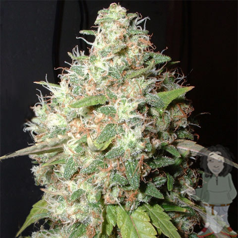 Bubble Cheese (Feminized Seeds)