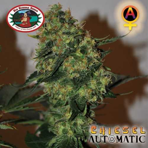 Chiesel Automatic (Autoflowering Seeds)