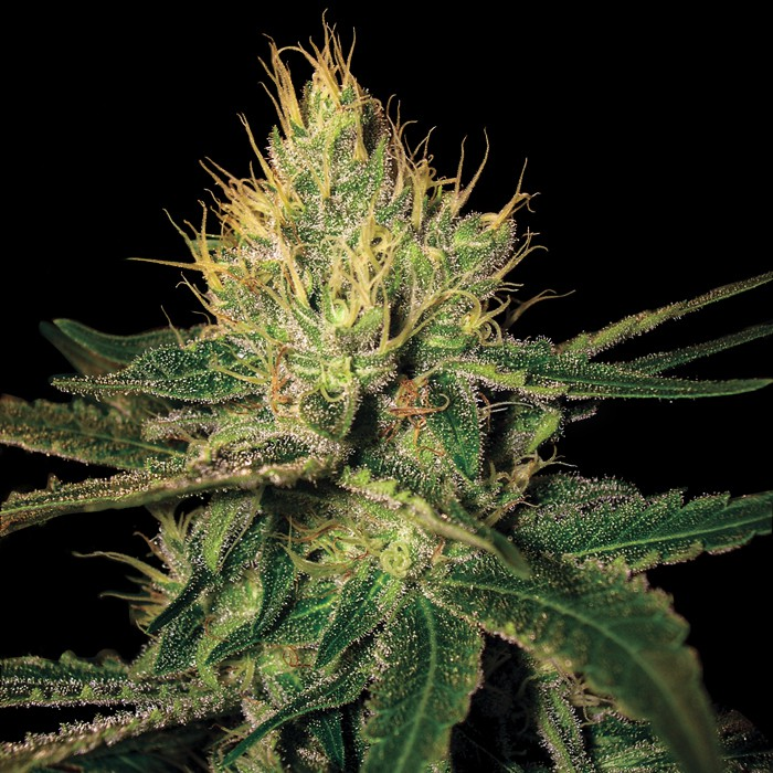 Cannalope Haze (Feminized Seeds)