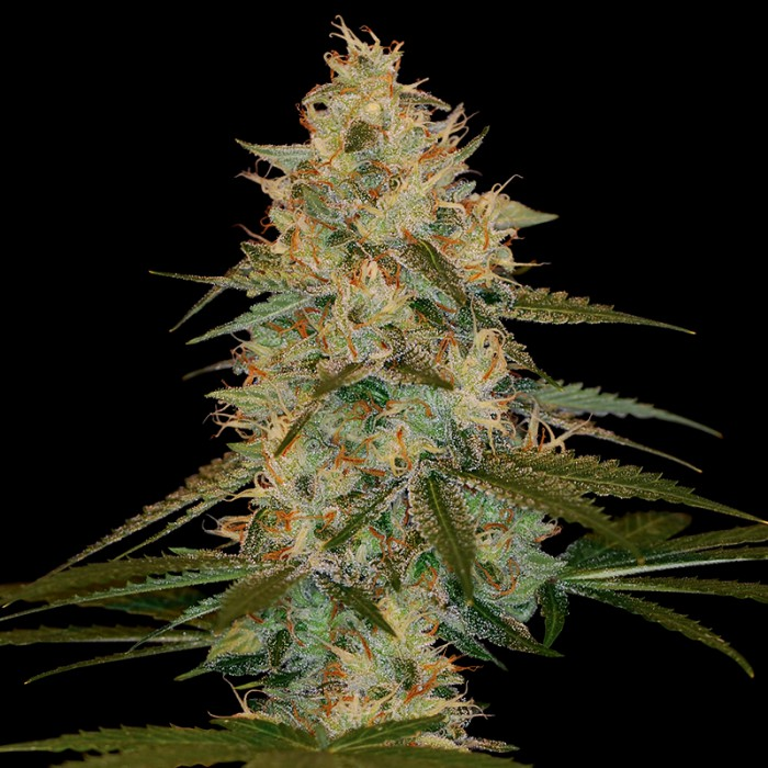 Chocolope Kush (Feminized Seeds)