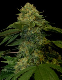 Holy Grail Kush (Feminized Seeds)