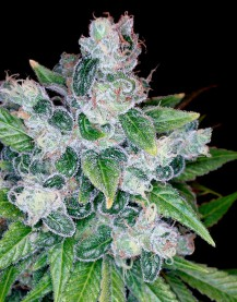 Kandy Kush (Feminized Seeds)