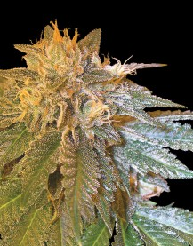 LA Confidential (Feminized Seeds)