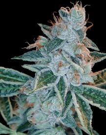 Lemon OG Kush (Feminized Seeds)