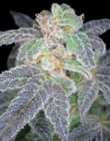 Purple OG #18 (Feminized Seeds)