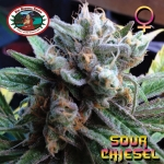 Sour Chiesel (Feminized Seeds)-0