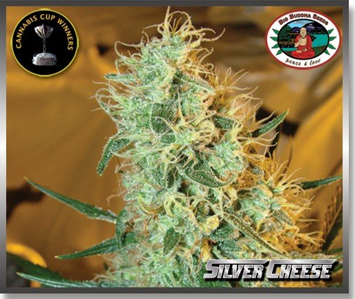 Silver Cheese (Feminized Seeds)