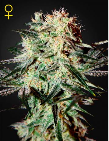 Arjan's Strawberry Haze (Feminized Seeds)