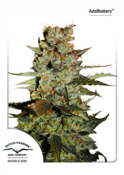 AutoBlueberry (Autoflowering Seeds)