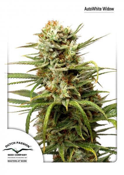 Auto White Widow (Autoflowering Seeds)
