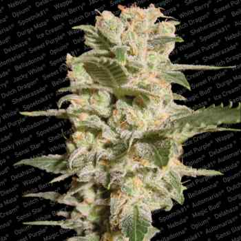 Belladonna (Feminized Seeds)