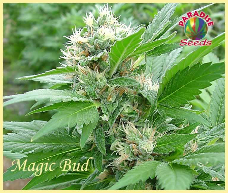 Magic Bud (Feminized Seeds)