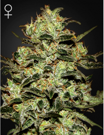 Moby Dick (Feminized Seeds)
