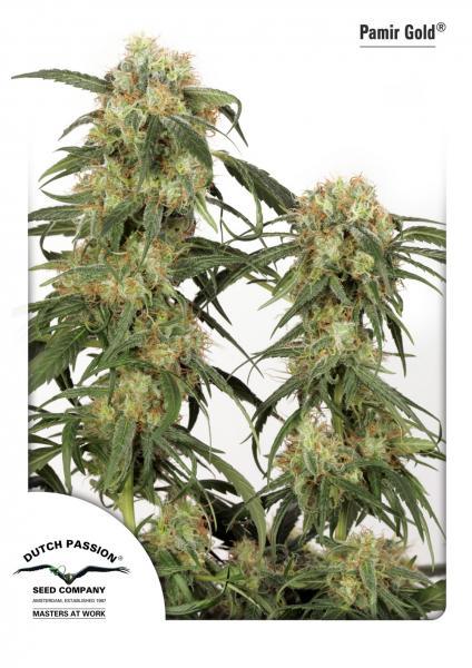 Pamir Gold (Feminized Seeds)