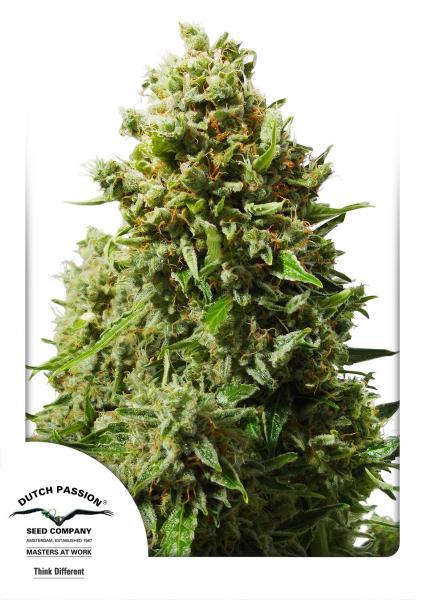 Think Different (Autoflowering Seeds)