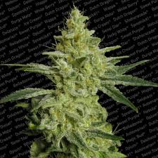 Allkush (Feminized Seeds)