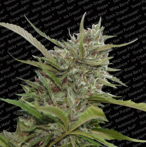 Auto Whiteberry (Autoflowering Seeds)