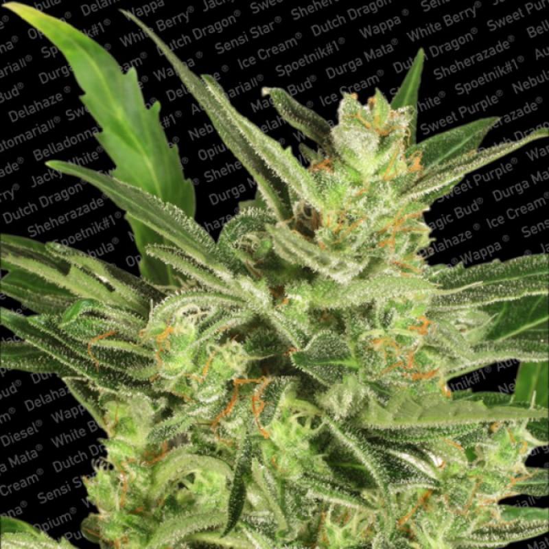 Automaria II (Autoflowering Seeds)