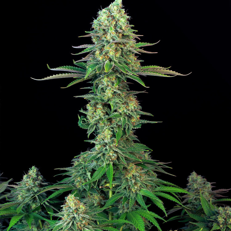 Bubblegum (Feminized Seeds)