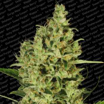 Delahaze (Feminized Seeds)