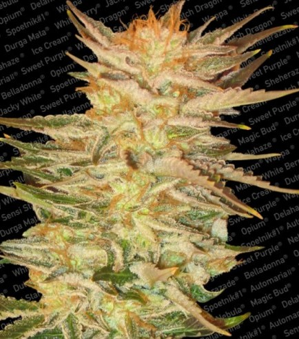 Ice Cream (Feminized Seeds)
