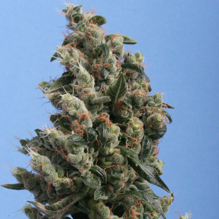 Kushage (Feminized Seeds)