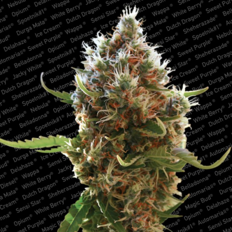 Lucid Bolt (Feminized Seeds)