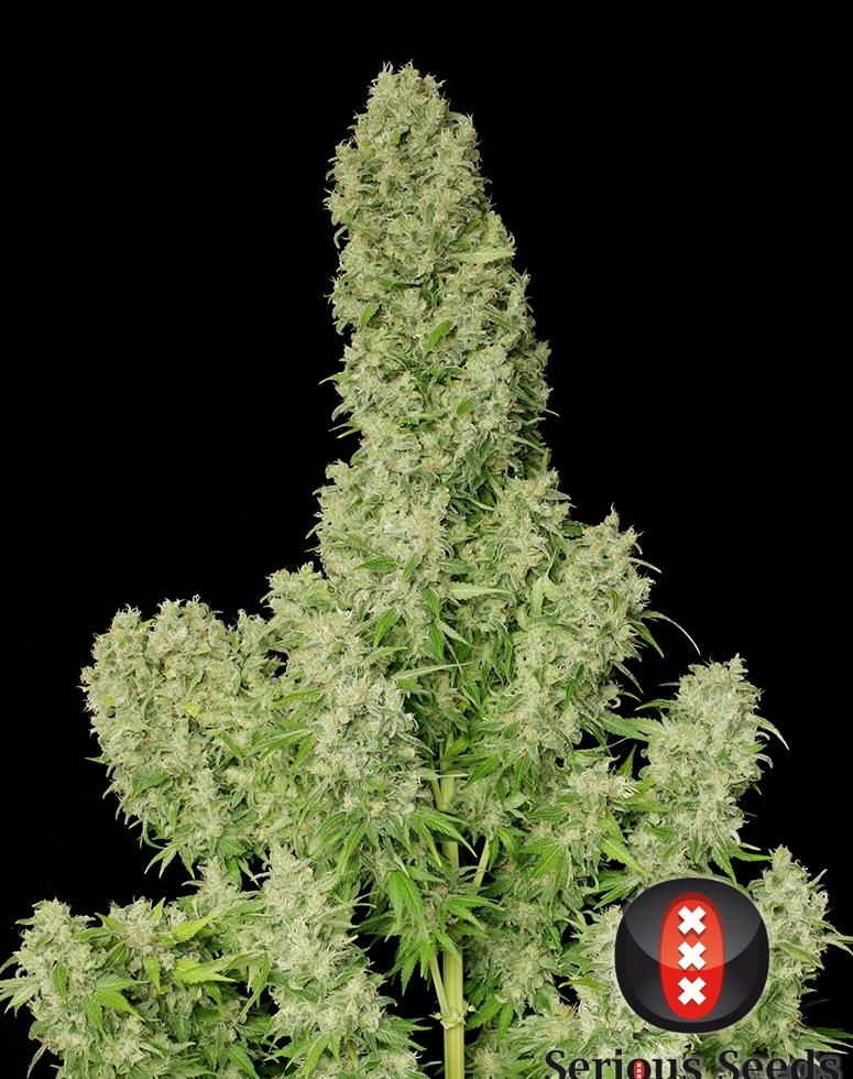 White Russian (Feminized Seeds)