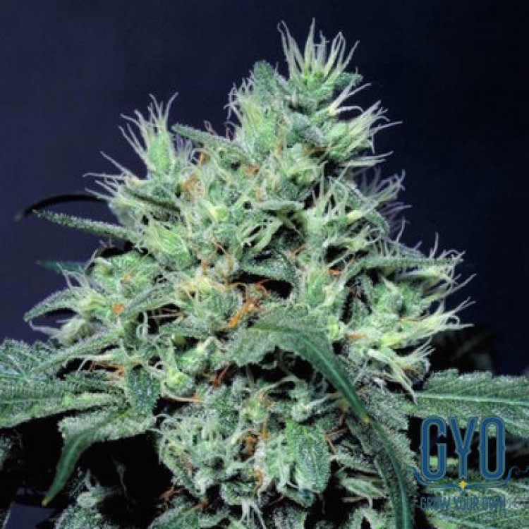 Dutch Dragon (Feminized Seeds)