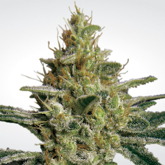All Kush (Feminized Seeds)