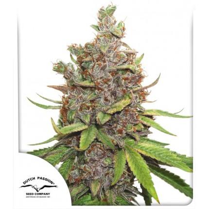 Auto Glueberry O.G (Autoflowering Seeds)