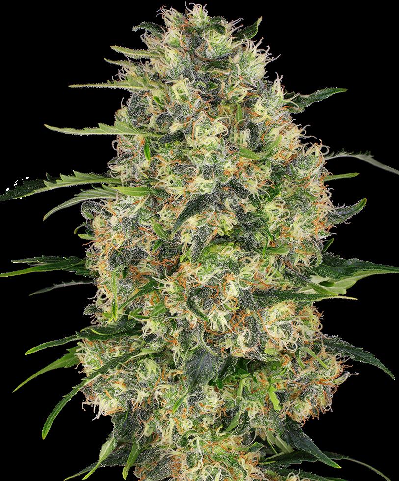 Black Domina (Feminized Seeds)
