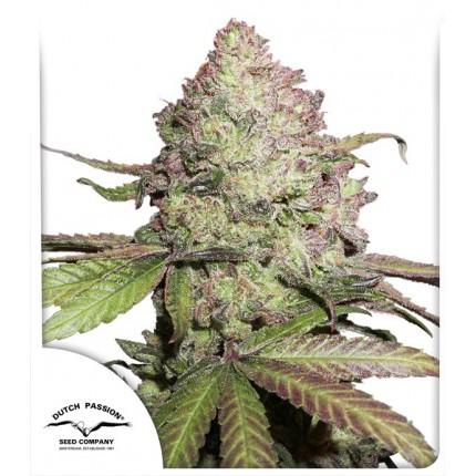 CBD Charlotte's Angel (Autoflowering Seeds)
