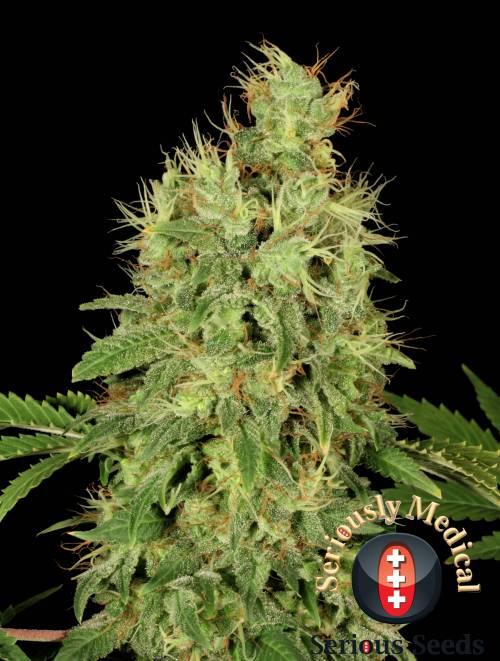 CBD Chronic (Feminized Seeds)